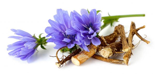 Чем полезен корень цикория для организма?